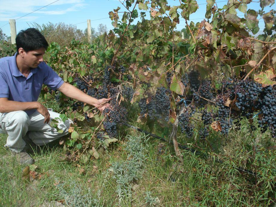 Las olas de calor se han visto muy crudas este verano en los viñedos de San Juan. La uvas y hojas de la viña reciben intensa radiación solar que afecta la productividad y la calidad de los vinos. Este fenómeno se viene repitiendo en los últimos años y ya la cosecha se ha adelantado por el cambio climático. - Gas carbono