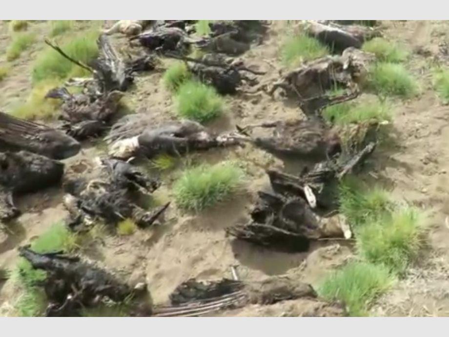 Hallaron un puma y 34 cóndores muertos en Mendoza - mendoza Los Molles cóndor