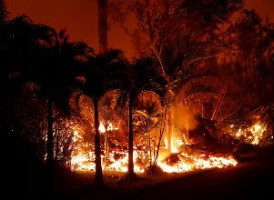 Lava from the Kilauea volcano eruption burns palm trees near Kahukai St. in the Leilani Estates near Pahoa - Volcán Kilauea Hawaii