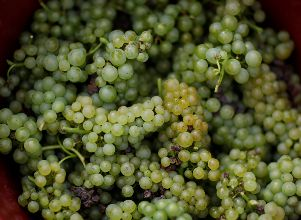 Collected grapes are seen in a box at the Domaine Pinson vineyard during the Chablis wine harvest - Vitivinicultura