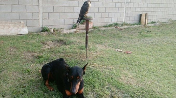 El halcón robado en Córdoba volvió a su casa