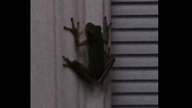 Una rana se volvió viral luego de comer un bicho de luz