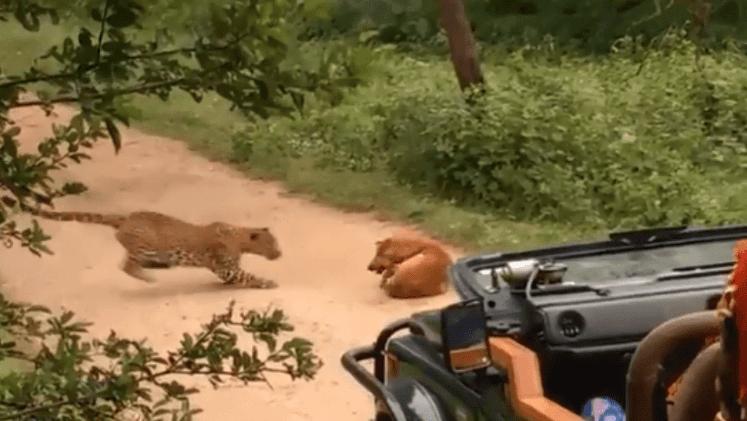 Internacional Perro enfrenta a leopardo que intentó atacarlo