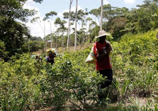 Venezuela cuestiona a Colombia por aumento de cultivos ilícitos