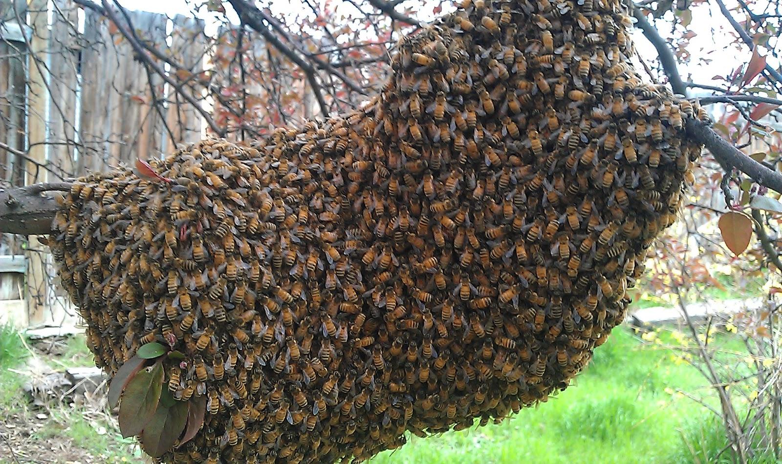 Por qué las avispas o abejas forman enjambres