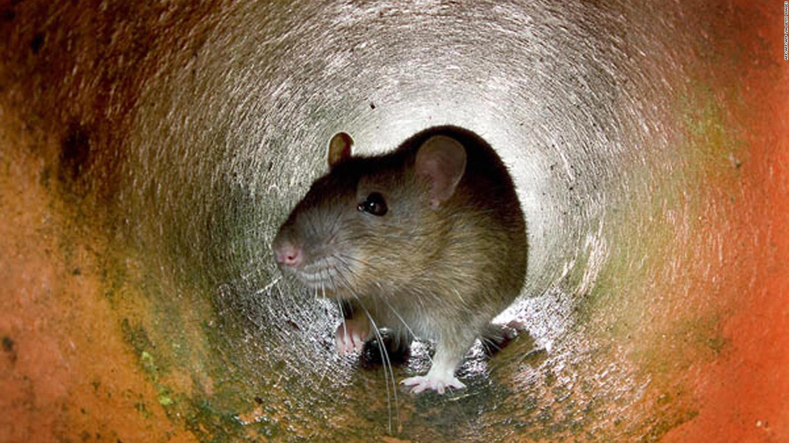 Dónde buscar ratas fuera de su propiedad